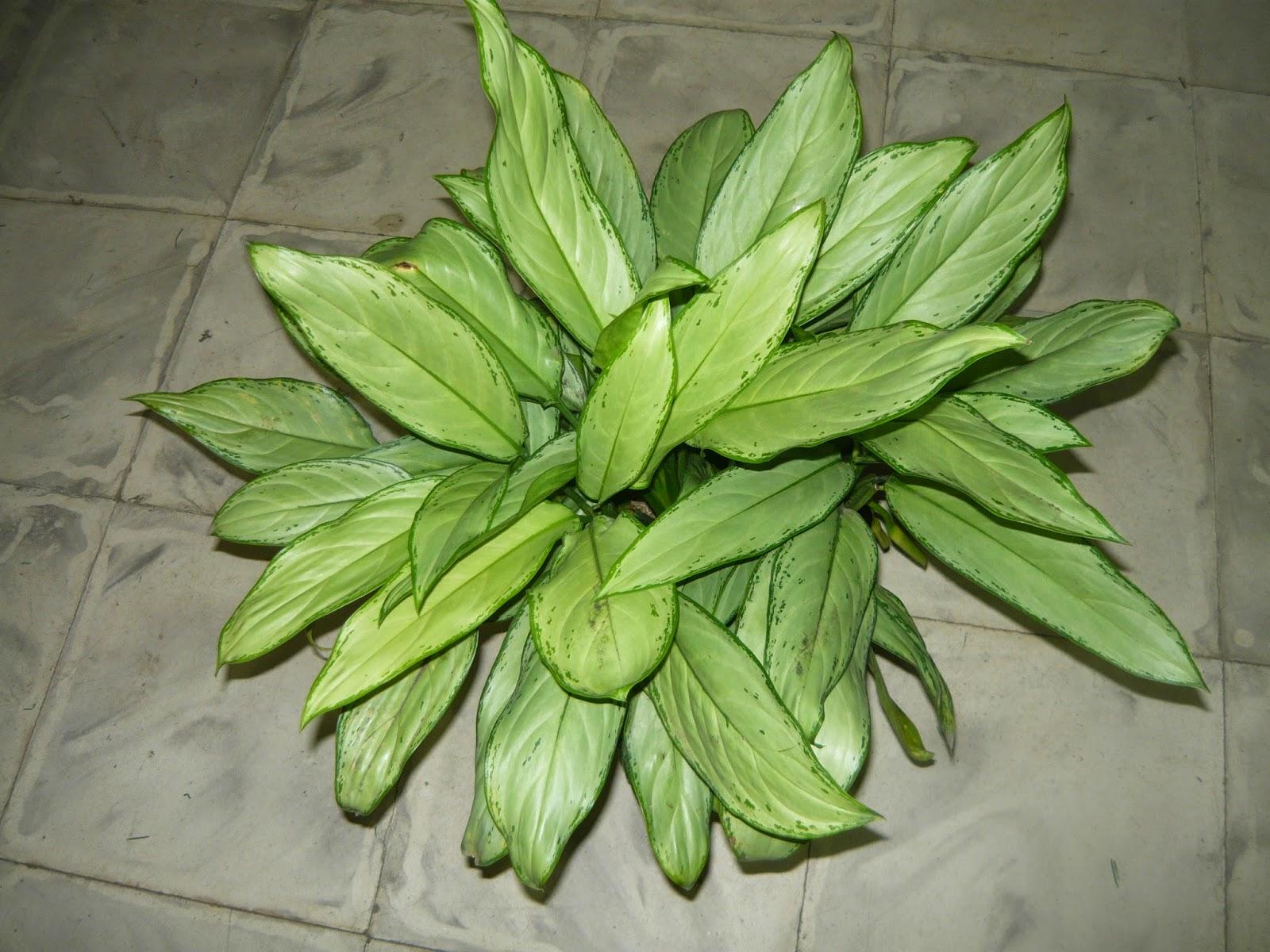 Vivero san francisco plantas ornamentales carrera 46b for Plantas ornamentales croto