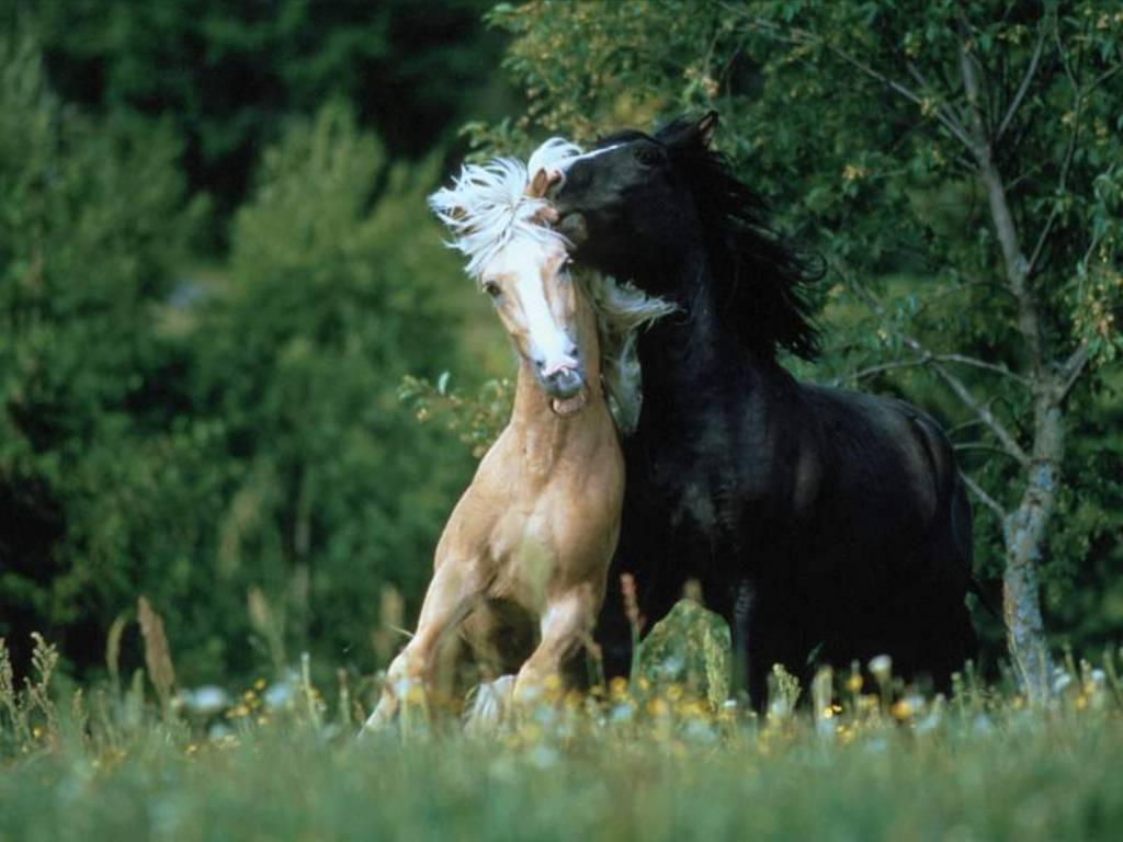 Horses Wallpapers  HQ ...