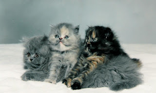 persian cats picture