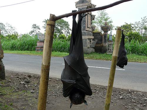 Ébola: Experto de la ONU advierte de matar masivamente murciélagos