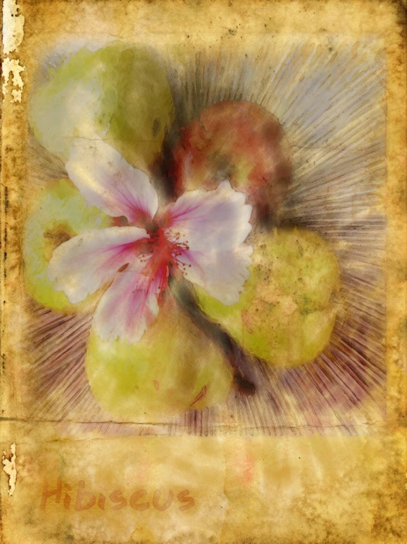 Hibiscus flower and fruit © Allan Copson