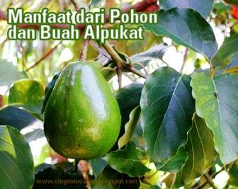 Manfaat dari Pohon dan Buah Alpukat