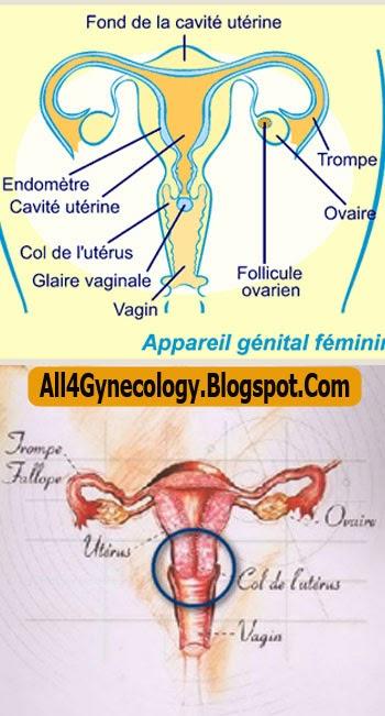 petite levre plus grande gynecologie