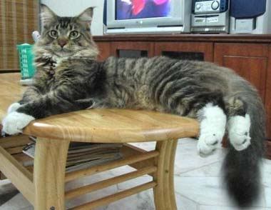 kucing maine coon