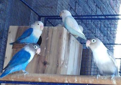 Daftar Harga Burung Love Bird Terbaru 30 September 2015
