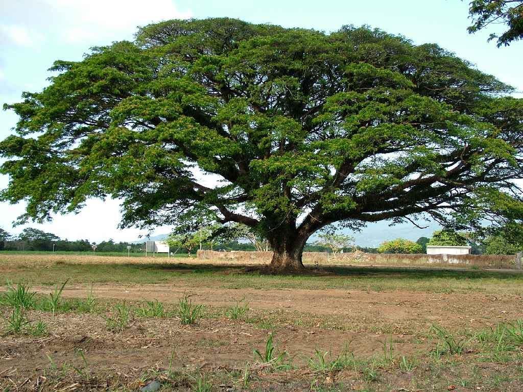 PlantWerkz Rain Tree Samanea Saman