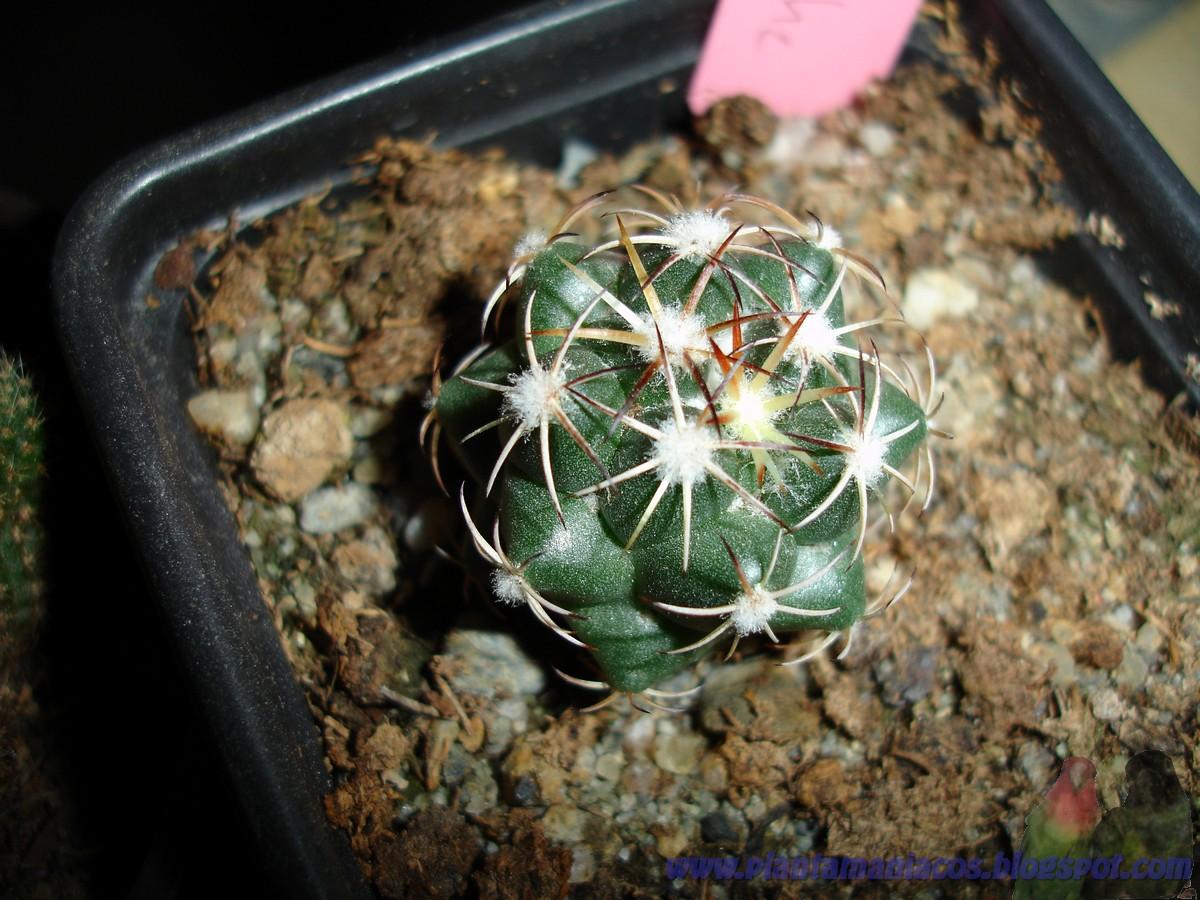 La casa de los cactus coryphantha tripugionacantha for Donde venden cactus