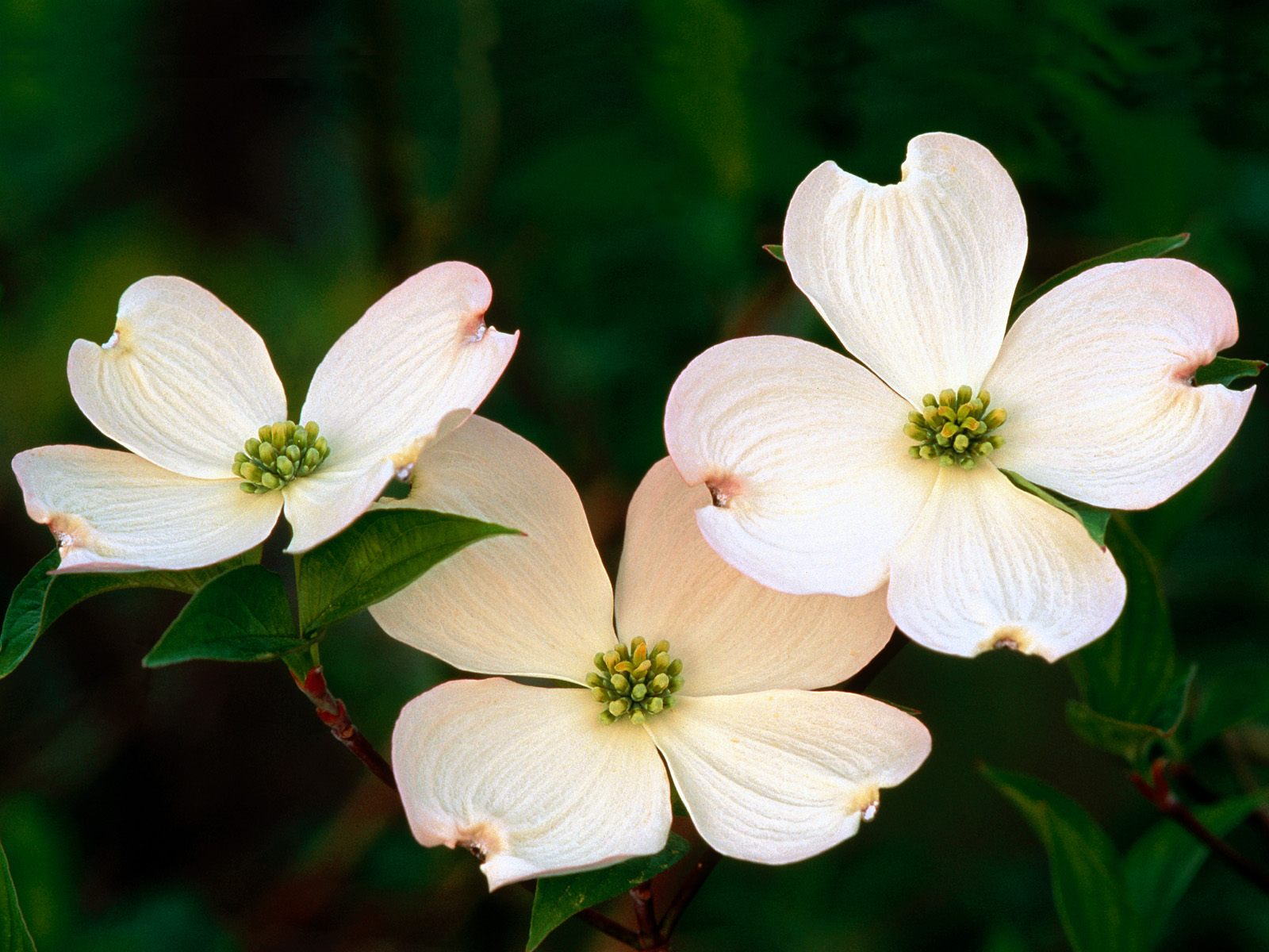 http://4.bp.blogspot.com/-zWeW7rSzJ3Q/TjkvSMnsK6I/AAAAAAAAD5g/9QZKR3DJST4/s1600/flowering_dogwood_blossoms_download.jpg