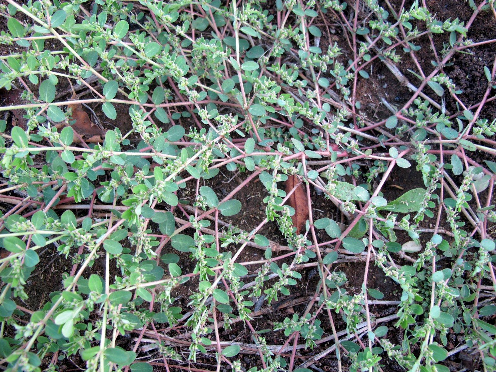 Flora nel salento e anche altrove chamaesyce prostrata - Diversi tipi di erba ...