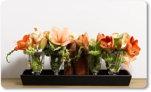 amaryllis, orange maryllis, rilona