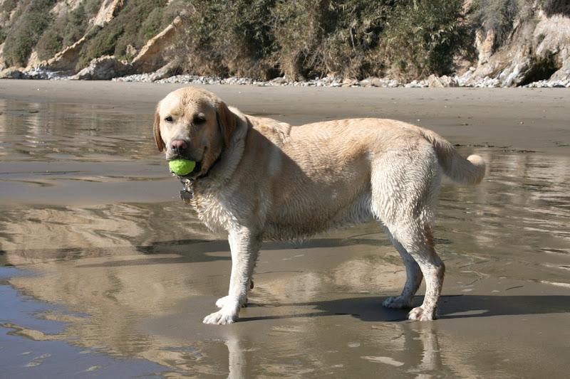 Tired Labrador Hendrys Dog Beach