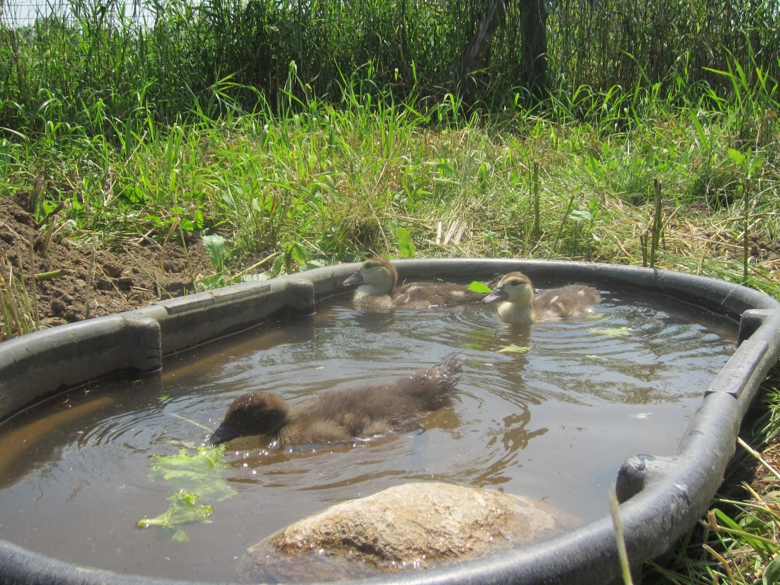 Nes 39 Farm Happy Ducks