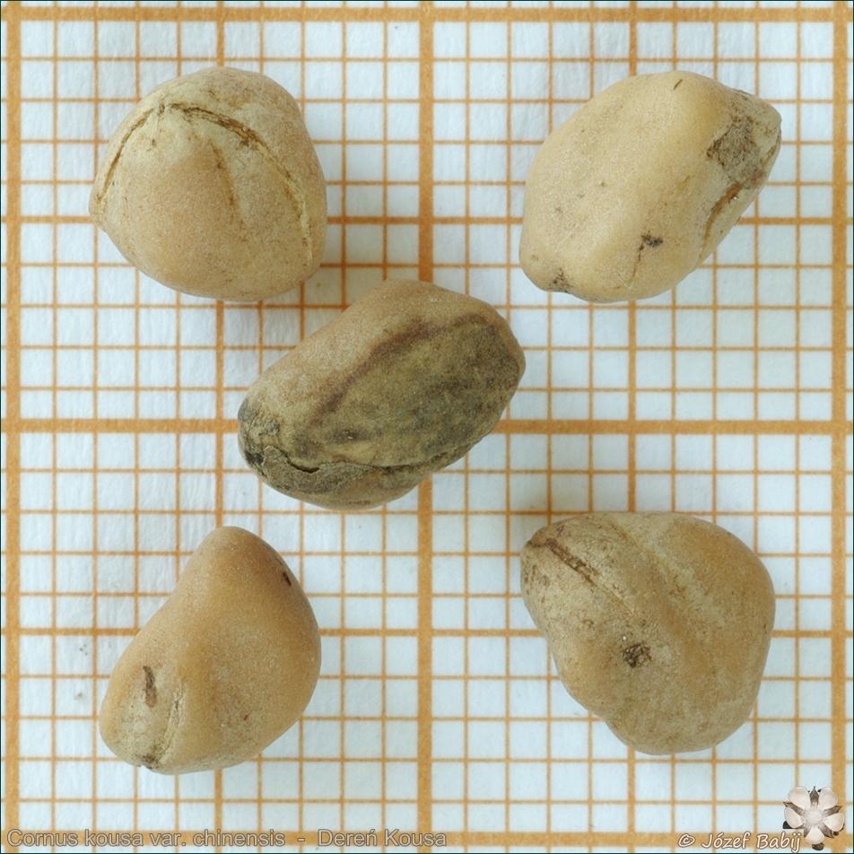 Cornus kousa var. chinensis seeds - Dereń Kousa nasiona