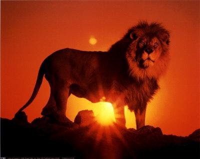 external image lion_sunset.jpg