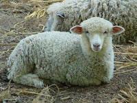 Serba-serbi Peternakan+beda domba liar dengan domba jinak