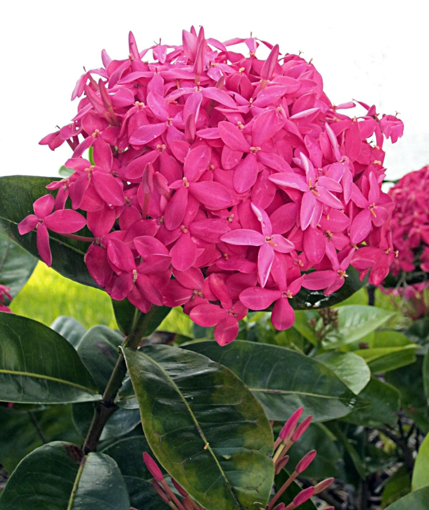 Ixora plant, flower