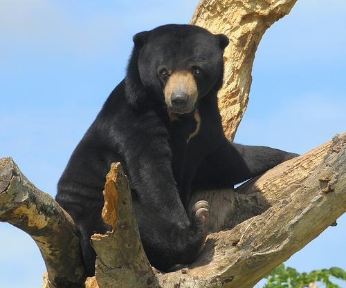 Beruang madu , salah satu hewan yang dilindungi