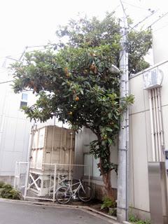プロネート工場脇にあるビワの木の写真