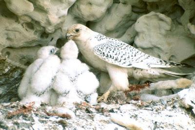halcón gerifalte alimentando a sus polluelos