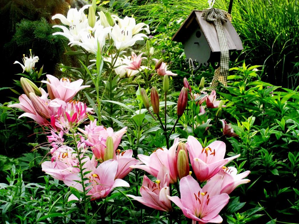 Franklin county pa gardeners liliums the true lilies liliums the true lilies izmirmasajfo