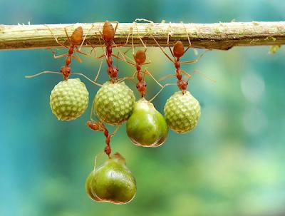 Las hormigas se aferran a su comida