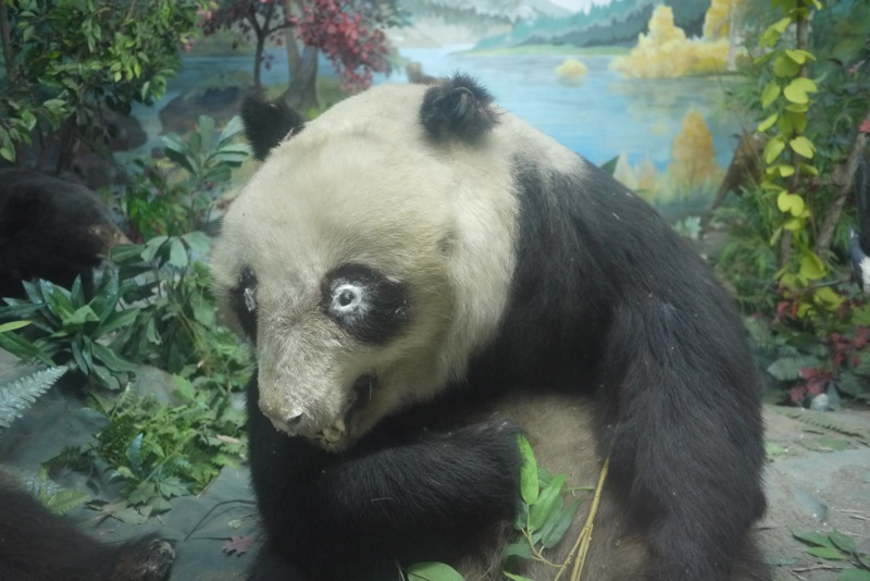 panda shocked to see its mating rituals are being observed. Actually ... Giant Stuffed Bear