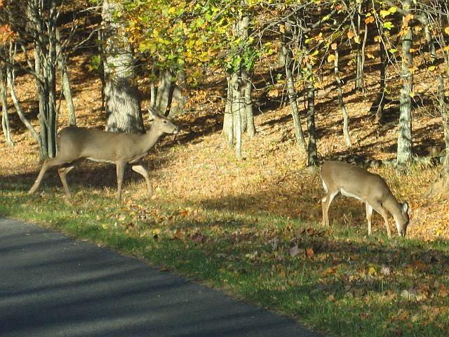 blue ridge parkway deer