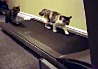 ルームランナーで遊ぶネコ