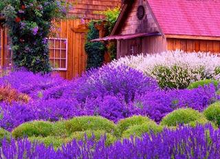 flores violetas lilas al lado de casa de campo