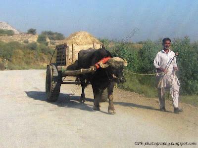Ox/Bull Cart Pic