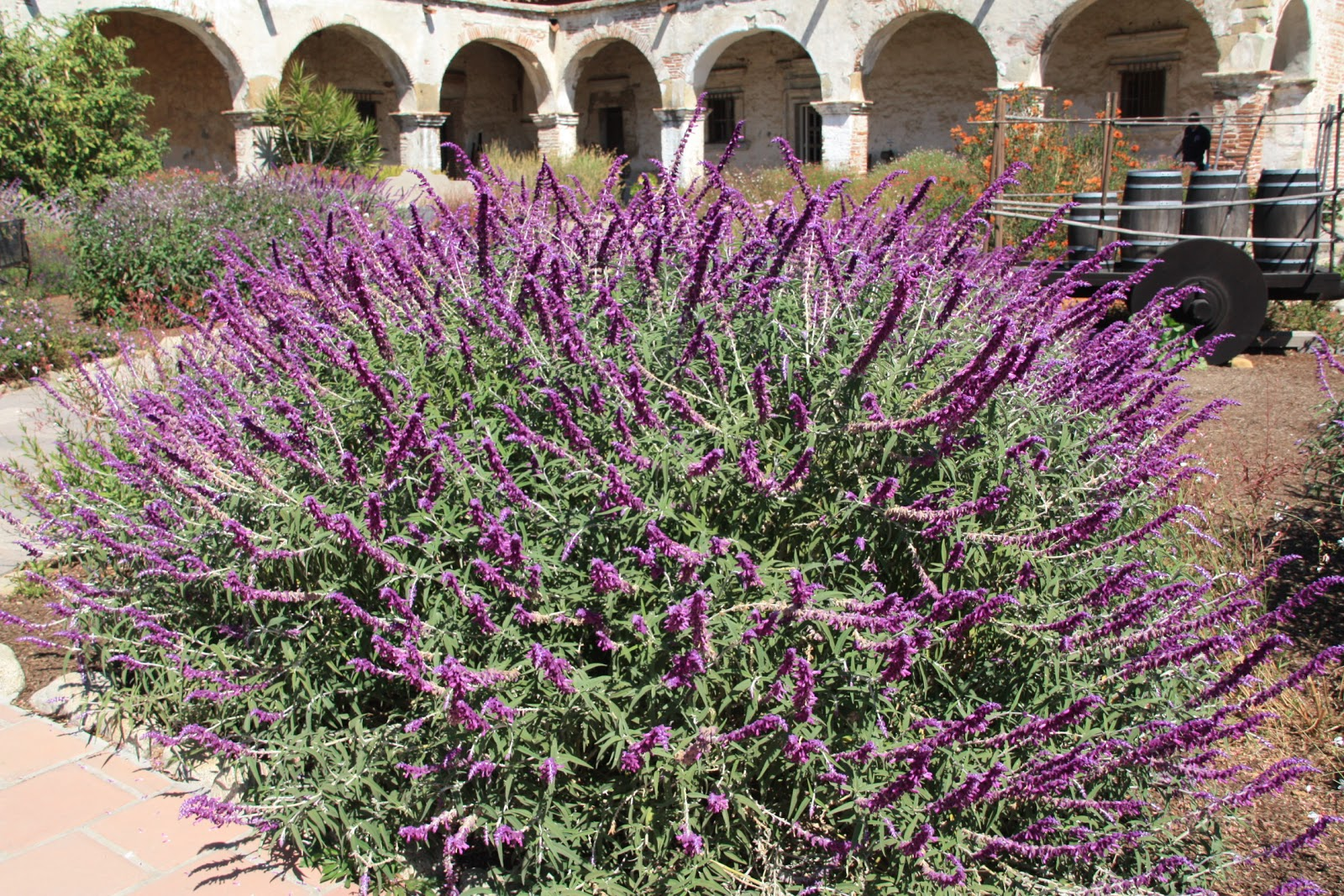 El muro vegetal salvia leucantha for Arbusto de jardin