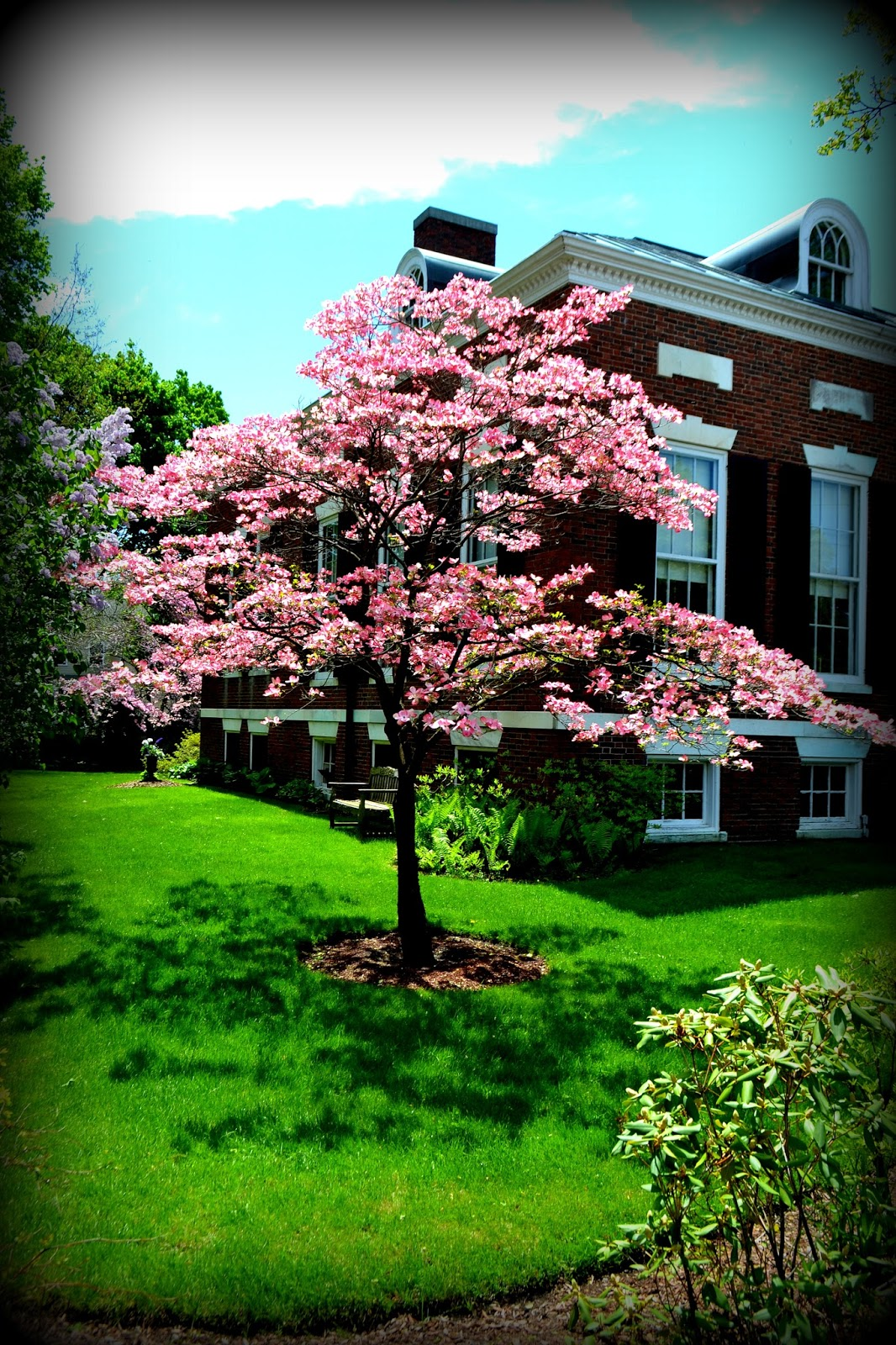 salem, athenaeum, dogwood, blossom, shadow