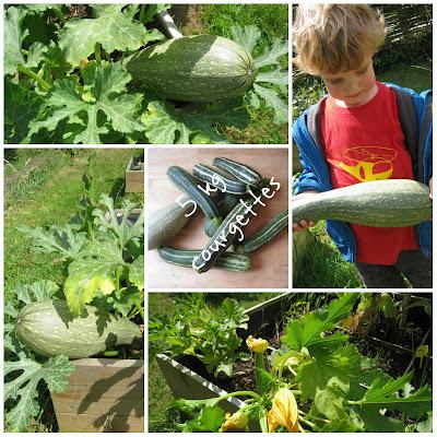 Courgettes aan de plant in de moestuin, klaar om verwerkt te worden.