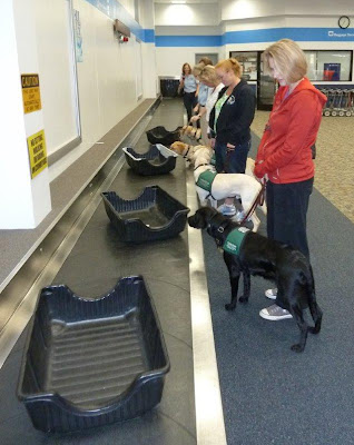 Puppies checking out items moving along a baggage claim conveyor belt