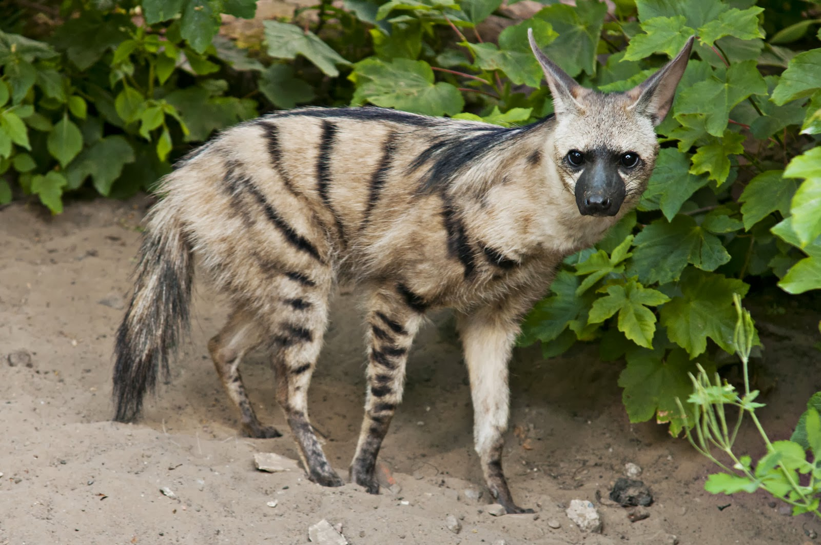 Aard Wolf