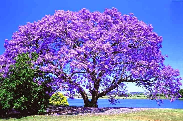 Populares Teia Design: Ipê – Árvore Brasileira UT56