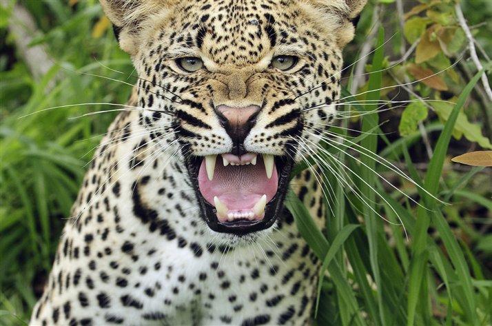 Nubes de algodón: El leopardo, un animal solitario
