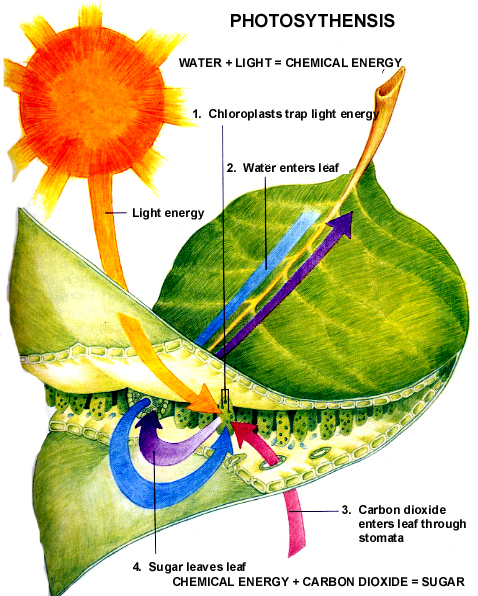 Let\'s Learn Photosynthesis: Leaf Anatomy