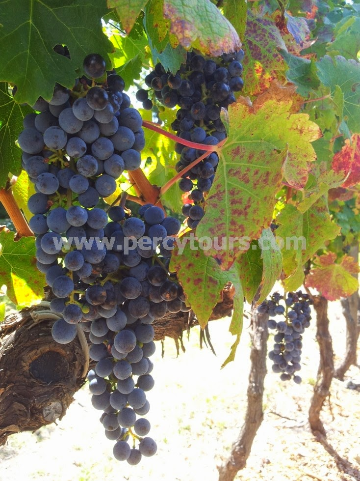 Wine grapes, Stellenbosch