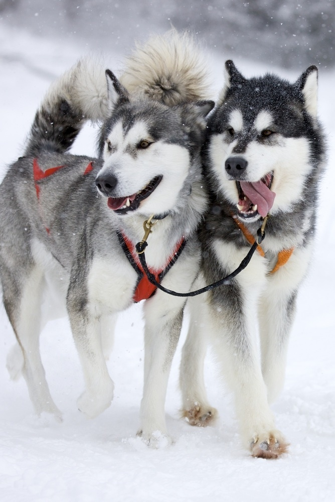 Siberian Husky Dog History