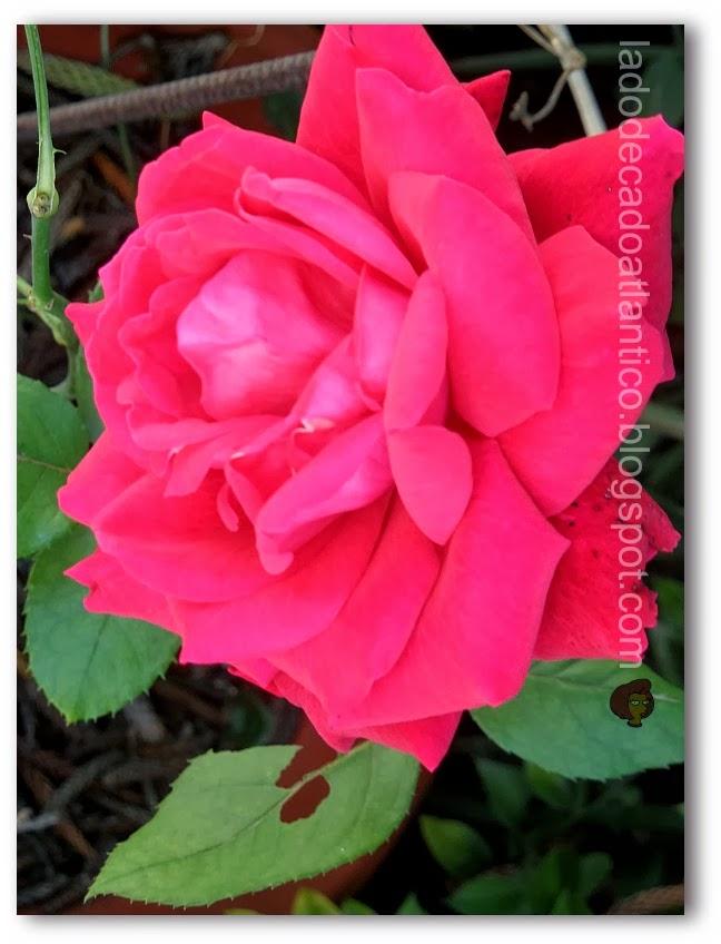Foto de uma rosa cor-de-rosa do canteiro de uma casa em Ameal, Portugal