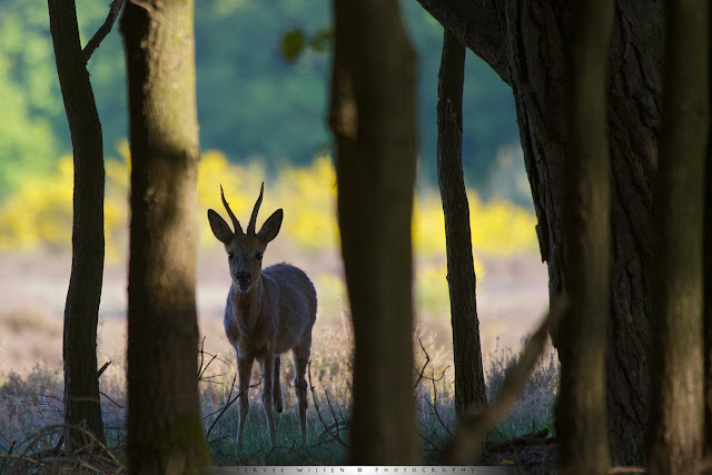 Ree in bos - Roe Deer in forest - Capreolus capreolus