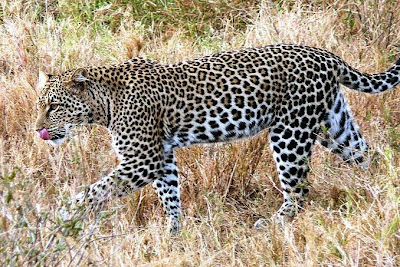 African-Painted-Leopard