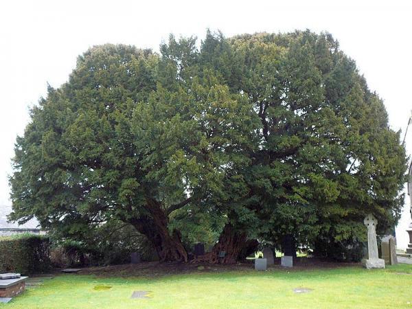 Antara pokok tertua di dunia