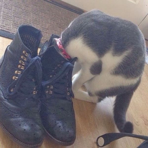 Funny cats - part 93 (40 pics + 10 gifs), cat puts his head inside shoe