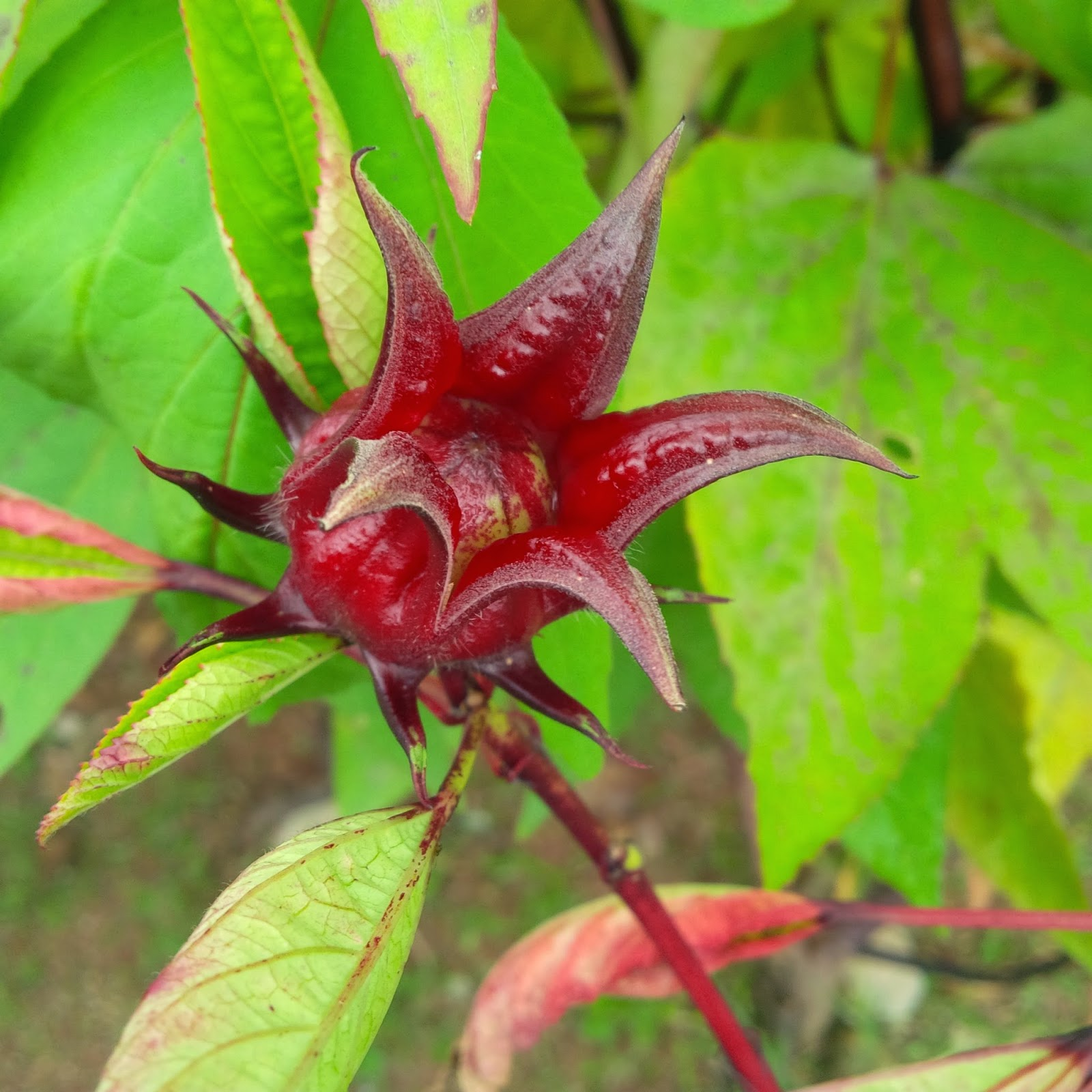 antioxidant, beautiful skin, gardening, how to grow roselle flower, roselle, roselle benefits, roselle plant
