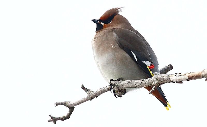 største fugl i spurvefamilien