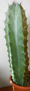 cactus genero armatocereus