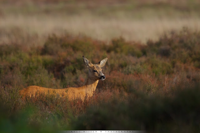 Ree op de Hei - Roe Deer in Heather - capreolus capreolus