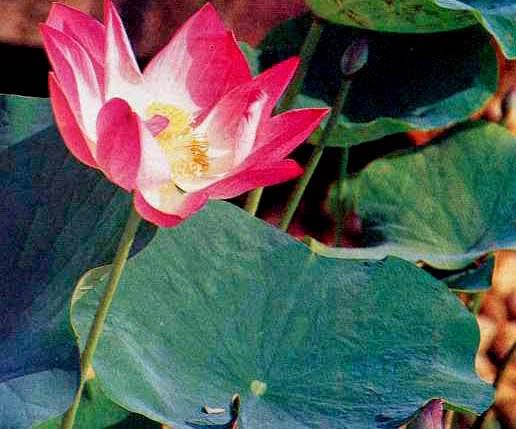 6 Manfaat dan Khasiat Seroia/ Teratai Besar